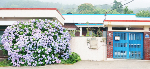 통영 수변공원뿐만 아니라 동네 곳곳에서도 볼 수 있는 수국.