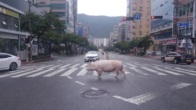 18일 오전 김해 삼계동 가야로에 돼지 두 마리가 출몰한 모습./독자 양수진씨 제공/