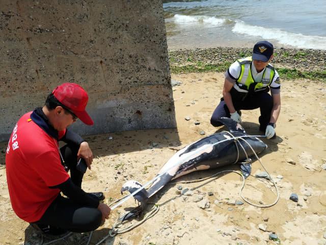통영해경, 남해 사촌해수욕장서 상괭이 사체 발견