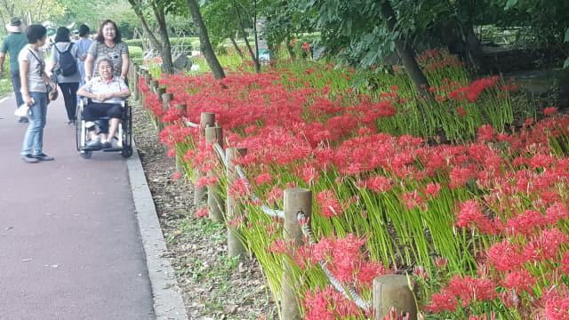 상림숲 아래 관광객들이 꽃무릇을 둘러보고 있다.