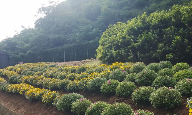 10일, 도천면에서 가을꽃으로 식재한 모습.
