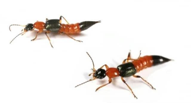 일명 '화상벌레'로 불리는 청딱지개미반날개. /통영시보건소/
