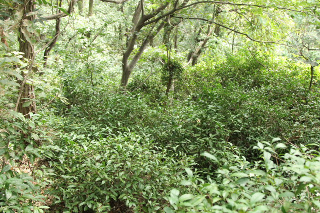 다방동에 크고 작은 차나무가 서식하고 있다./양산시 제공/