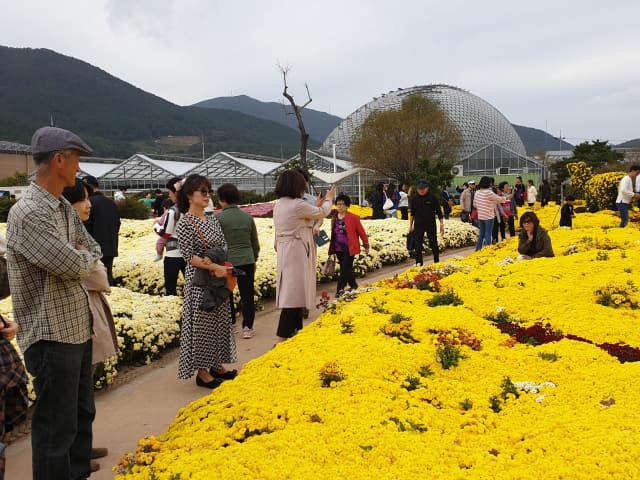 3일 거제섬꽃축제 현장을 찾은 관람객들이 활짝 핀 국화 밭을 거닐며 축제를 즐기고 있다. /거제시/