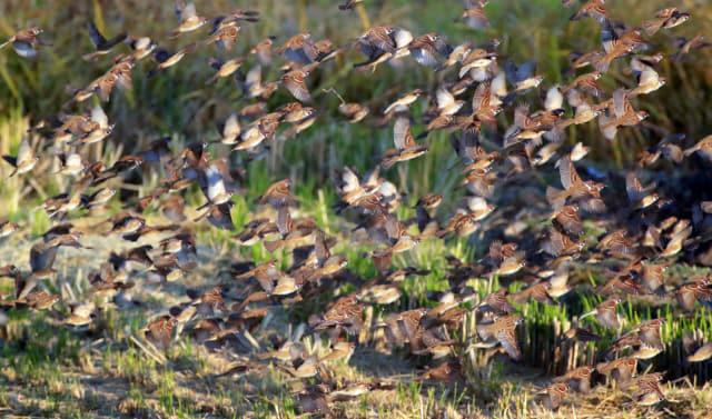 지난 5일 창원시 주남저수지 일대에서 참새들이 무리를 지어 날아다니고 있다. /최종수 생태사진가/