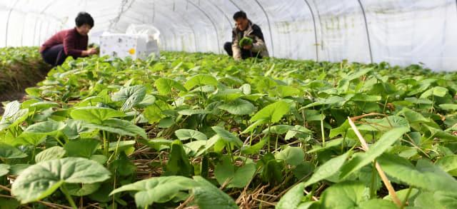 13일 가야산 자락인 거창군 가북면 우혜리 곤달비 하우스에서 한 부부가 지역의 대표 농산물인 곤달비를 수확하고 있다./거창군/