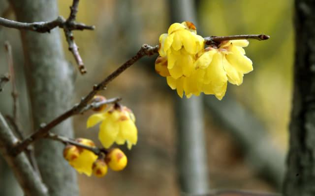 19일 창원 '진해보타닉뮤지엄'에서 노란 납매(臘梅, 황설리화)가 활짝 펴 꽃향기를 전하고 있다./전강용 기자/