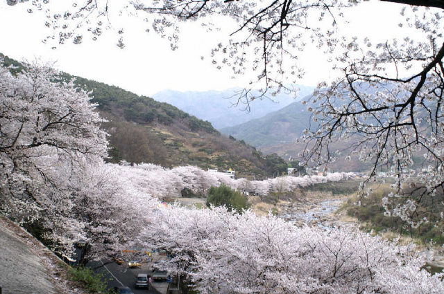 하동 십리벚꽃길