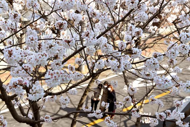 춘분을 하루 앞둔 19일 창원시 진해구 이동 일대에 벚꽃 한 그루가 꽃망울을 터트려 다가온 봄을 알리고 있다./전강용 기자/