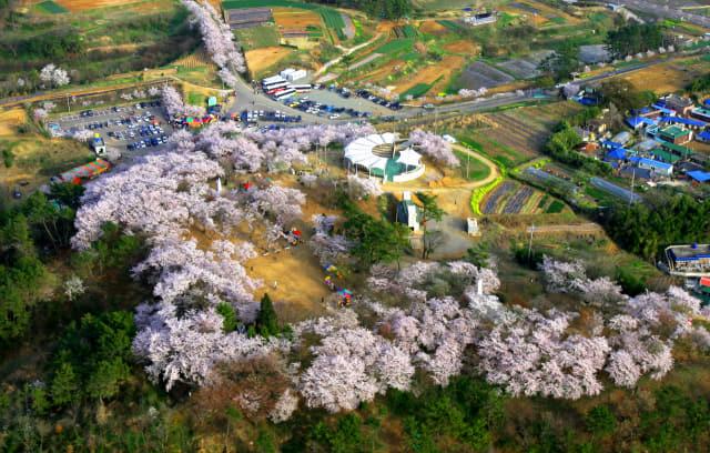 사천 선진리성 벚꽃 개화기 모습. 사천시