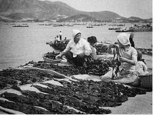 1960년대 견내량 해역에서 트릿대 방식으로 생산된 돌미역을 널어 말리는 모습./해양수산부/