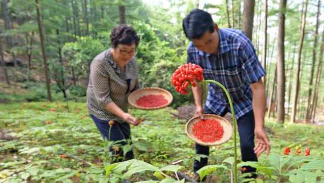 8일 거창군 고제면 빼재산삼원에서 강삼석씨 부부가 붉게 물든 산양삼 씨앗을 따고 있다./거창군/