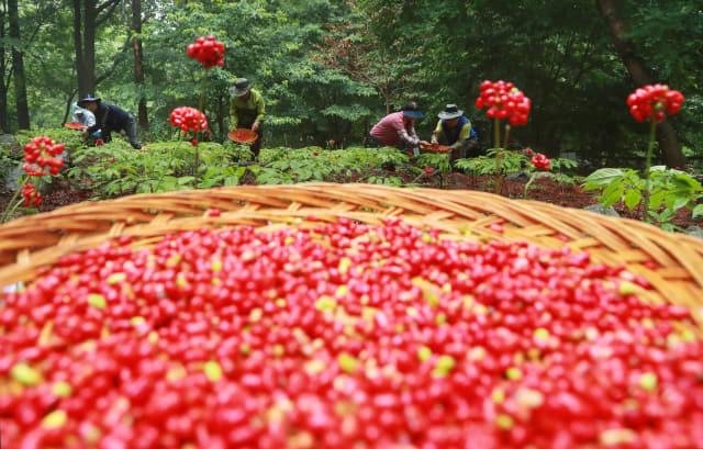 14일 함양군 휴천면 삼봉산 산양삼 채종단지에서 장맛비가 소강상태를 보이자 관리인들이 산양삼 종자를 확보하기 위해 잘 영근 산양삼 열매를 따고 있다./함양군/