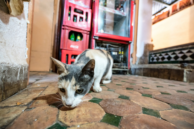 페스 한 식당 안에서 발견한 귀여운 고양이.