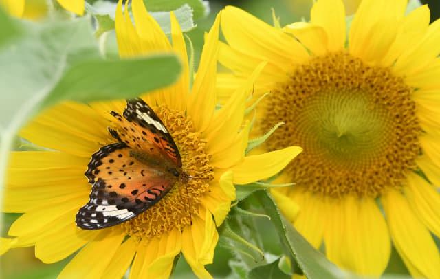 5일 오후 창원시 의창구 동읍 주남저수지 일대에 핀 해바라기 위에서 나비 한 마리가 꿀을 따고 있다./성승건 기자/