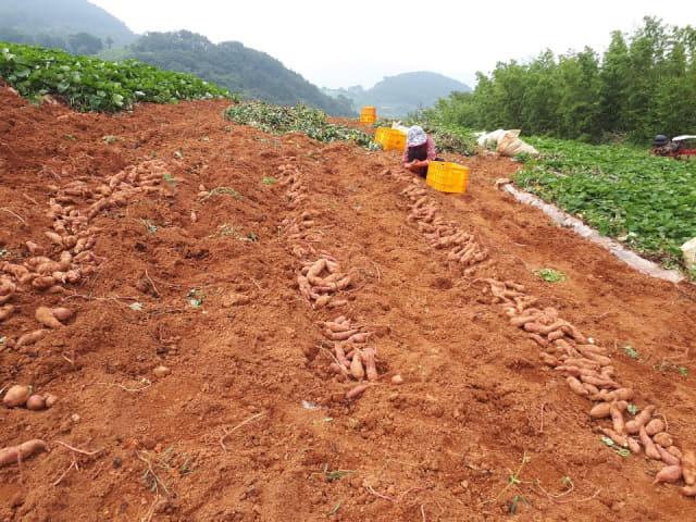 지난 3일 통영시 욕지면 하문수씨 농가에서 올해 첫 고구마를 수확하고 있다./통영시/