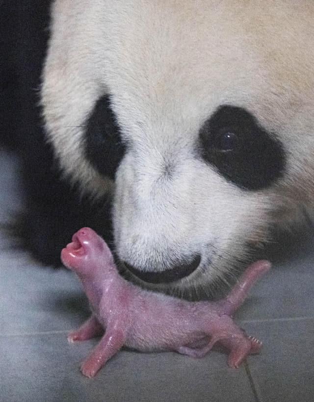 중국에서 들여온 판다가 처음으로 출산한 암컷 새끼 판다.