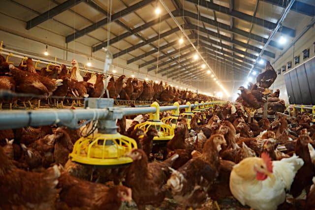 의령군 지정면 두곡리에 있는 동물복지 농장 '의령농원'의 닭들이 계사 안에서 자유롭게 움직이고 있다.