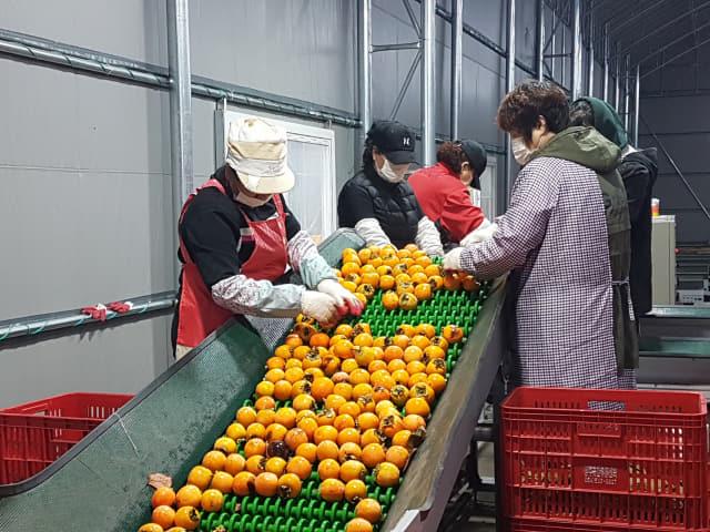 상주곶감유통센터에서 수매한 생감을 직원들이 선별하고 있다./고도현 기자/