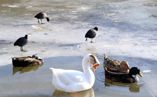 주말동안 기록적인 한파로 창원대학교 기숙사 앞 연못이 얼어붙은 가운데 10일 오후 얼지 않은 연못 가장자리에 오리들과 물닭들이 한데 모여 있다./성승건 기자/