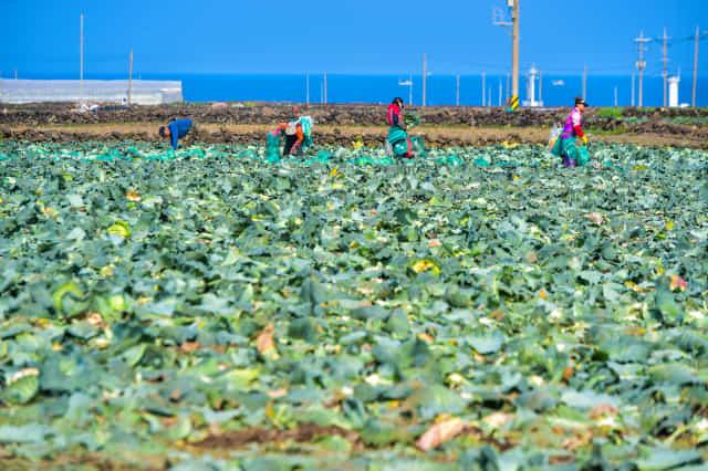 제주시 한림읍 수원리에서 농민들이 양배추를 수확하고 있다./제주일보 고봉수 기자/
