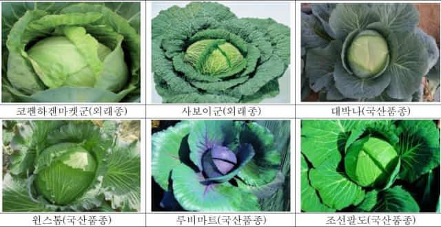 다양한 양배추 품종/농촌진흥청 제공/