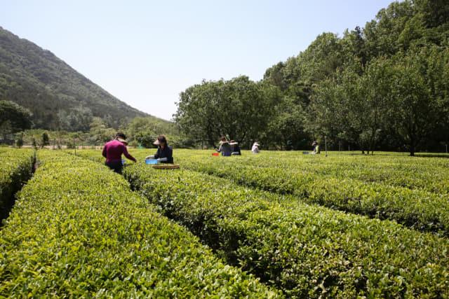 김해장군차영농조합 소속 농업인들이 지난 15일 차 재배단지에서 올해 첫 장군차 수확을 하고 있다. /김해시/