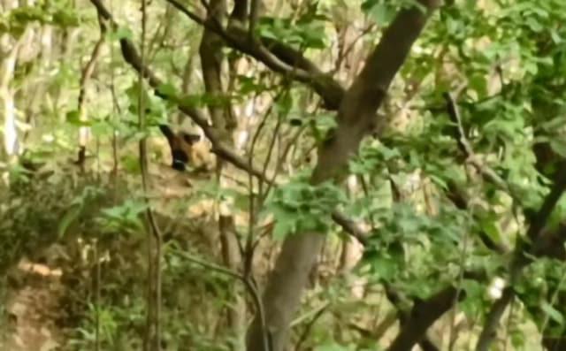 창원시 마산합포구 월영동 청량산에서 목격된 노란목도리담비 영상 캡처./경남야생생물보호협회/