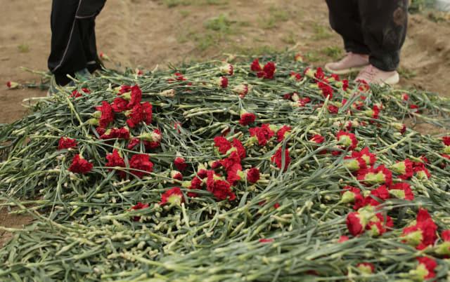 카네이션 수요가 많은 어버이날을 하루 앞둔 7일 경남 김해시 대동면 한 농가에서 농민이 카네이션을 폐기하고 있다. 이 농민은 코로나19에 수요가 감소하고 중국 등 수입 물량이 늘어 단가 맞추기가 쉽지 않아 폐기한다고 말했다. 연합뉴스