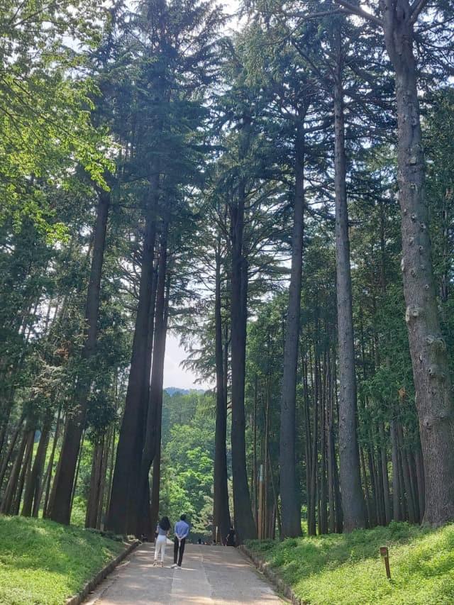 양산 법기수원지 방문객들이 울창한 히말라야시더 나무 사이로 산책을 하고 있다.