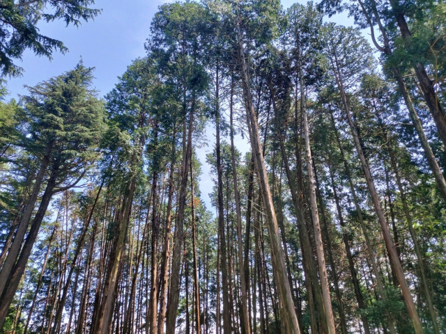 빼곡히 솟은 편백나무.