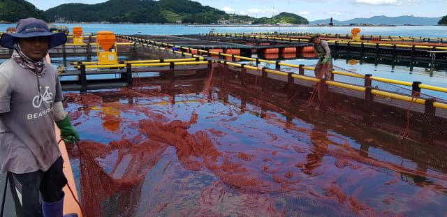 23일 통영시 산양읍의 한 가두리양식장에서 어민들이 그물을 들어보며 무더위에 지친 양식어류의 활력을 점검하고 있다.