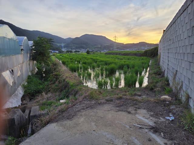 농약 성분이 검출된 작물건조제가 뿌려진 마늘을 수확한 남해군 고현면의 한 논에 새로 심은 벼가 일부 말라죽어 바닥을 보이고 있다.